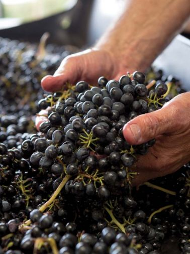 In 2015, 475 acres of Tempranillo grapes grew in the Northwest.