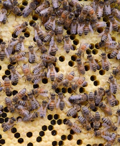 Worker bees are responsible for building honeycomb; collecting nectar, pollen, and propolis; caring for larvae; and mending the hive—a lot of responsibility for a creature that might only live four weeks.