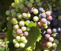 Owen Roe sources its grapes from both Yakima Valley, Washington and Willamette Valley, Oregon.