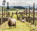 Sheep at home at King Estate, the largest Biodynamic certified vineyard in the US, at 1,000 acres, near Eugene, OR. Photo © Joe King