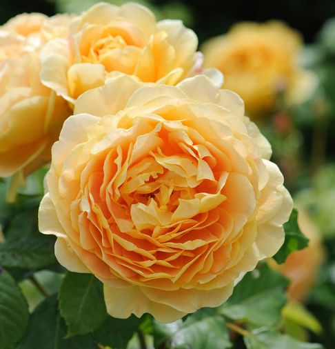 Golden Celebration, one of the largest flowered English Roses - yellow blooms.