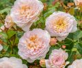 Emily Brontë, soft pink, apricot centered blooms - strong Tea scent.