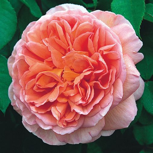 Abraham Darby, pink, apricot, yellow deeply cupped blooms, sharp fragrance.