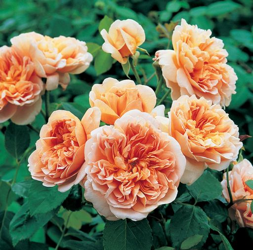 ea Clipper, apricot quartered rosettes with strong scent.