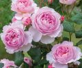 The Ancient Mariner, inspired by Coleridge's poem with plentiful, fragrant mid-pink blooms.