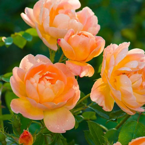 The Lark Ascending, graceful semi-double flowers, of a pleasing apricot.