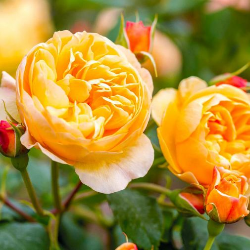 Roald Dahl, soft orange-red buds open to medium-sized, cupped rosettes of perfect apricot coloring.