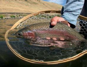 One of the renowned Redsides of the Deschutes, hard fighting, beautiful and a native species of the region.