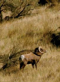 Bighorn sheep, part of a herd in Deschutes River Canyon.