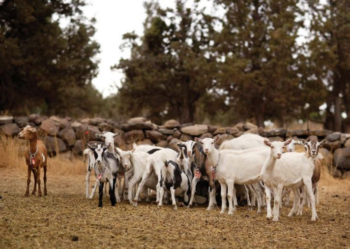 The picturesque property sits in the high desert–although it's only 20 minutes from Bend, it feels a world away. Every spring, the farm welcomes close to 300 baby goats – curious and playful from the start.