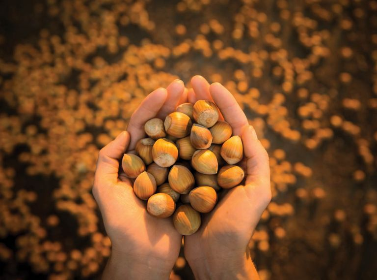 Out of every 100 hazelnuts harvested in the United States, 99 are grown in Oregon. The nuts' unmistakable flavor and richness is finding its way into everything from craft beer to hazelnut-finished prosciutto.