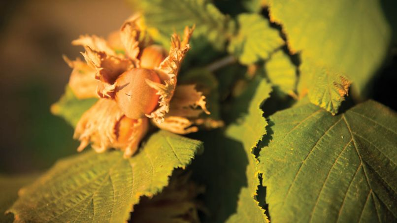 Hazelnuts grow encased in a fibrous husk called an involucre, which it sheds when ripe.