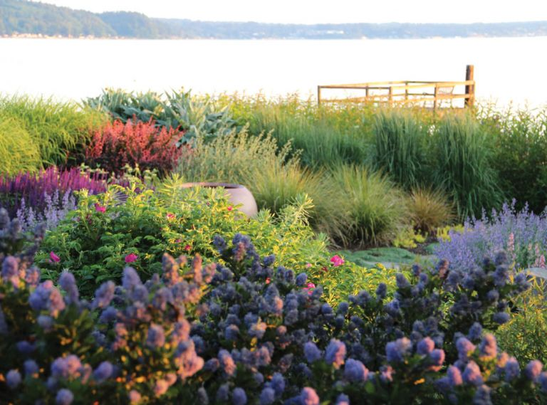 Tish's garden is set against the stunning backdrop of Puget Sound. In the foreground, Ceanothus thyrsiflorus 'Victoria' blooms in front of a hardy Rosa rugosa and nearly pastel Nepeta x faassenii 'Walker's Low.' Purple Salvia nemorosa 'Caradonna' contrasts strikingly against the foliage of Phlomis russeliana and the sunset-like glow of Berberis thunbergii 'Rose Glow,' while rounded tufts of Anemanthele lessoniana and Calamagrostis x acutiflora 'Karl Foerster' provide soft movement.