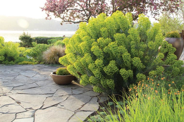 A mass of Euphorbia characias wulfenii anchors one side of a slate patio.